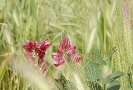 Fiore di sulla